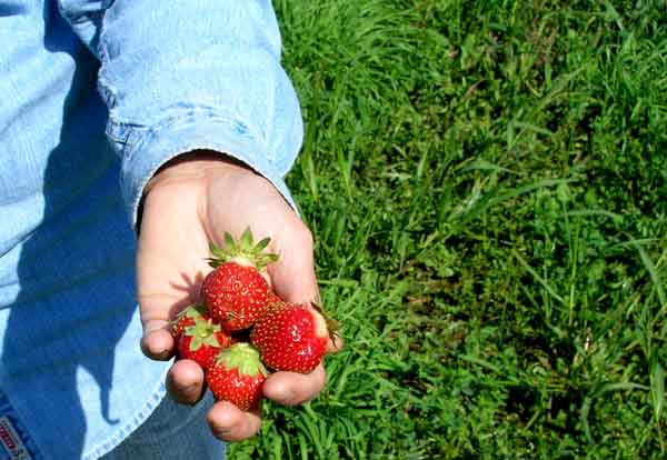 Holding home grown strawberries in hand